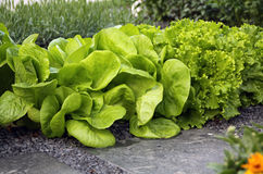 Salad chicory and lettuce on garden bed Royalty Free Stock Photos