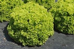 Salad Closeup Royalty Free Stock Photo