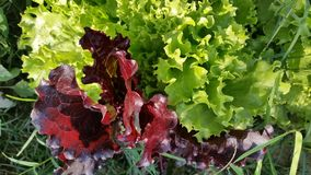 Salad. Colorful salad leaves shaking hands Royalty Free Stock Photos