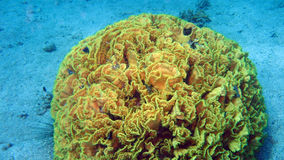 Salad coral at the coral reef of the Red Sea Royalty Free Stock Images