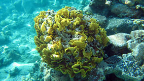 Salad coral at the coral reef of the Red Sea Royalty Free Stock Photos