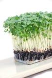 Salad cress Stock Photo