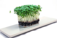 Salad cress Royalty Free Stock Photos