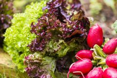 Salad and cultivated radish Stock Photo