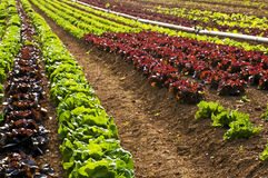 Salad cultivation Stock Photo