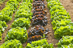 Salad cultivation Royalty Free Stock Image