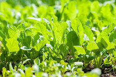 Salad cultivation Royalty Free Stock Photo