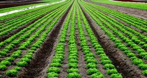 Salad field Stock Photo