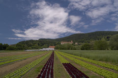 Salad field royalty free stock images