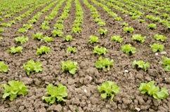 Salad field Stock Photos