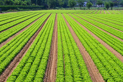Salad field lines Stock Image