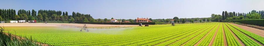 Salad field panorama Stock Photos