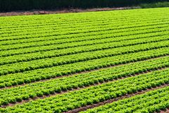 Salad field rows Royalty Free Stock Images