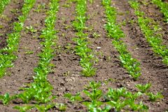 Salad Field. Rows salad plants on young salad field Royalty Free Stock Images