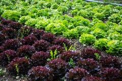 Salad on the field, salad growing, Novita, Lollo rosso Stock Photography