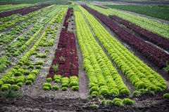 Salad on the field, salad growing, Novita, Lollo rosso Stock Photo