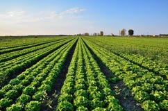 Salad field Stock Image