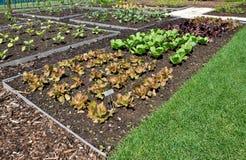 Salad Garden Stock Image