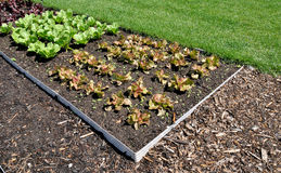 Salad garden Stock Images