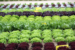 Salad garden Royalty Free Stock Photography
