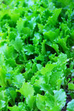 Salad on garden bed Royalty Free Stock Photography