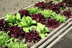 Salad garden bed. Salad on the garden bad in  Augustus Stock Photos