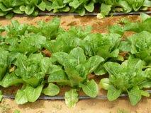 Salad garden Stock Photos