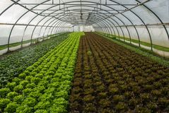 Salad in green house royalty free stock photography