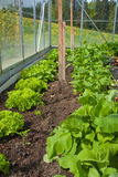 Salad in  a greenhouse Royalty Free Stock Photo