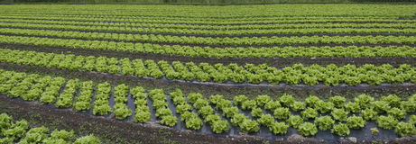 Salad greens at the farm. Royalty Free Stock Photos