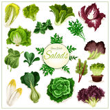 Salad greens, leafy vegetables vector poster Royalty Free Stock Images