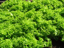 Salad. In the growth process in the garden Royalty Free Stock Images