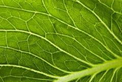 Salad leaf Stock Photo
