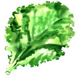 Salad leaf, fresh lettuce isolated, watercolor illustration on white Stock Photo