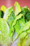 Salad leaf Royalty Free Stock Photo