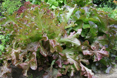 Free Salad Leafs In Garden Royalty Free Stock Photo - 11363485
