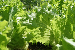Salad leaves. On vegetable bed Royalty Free Stock Photos