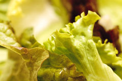 Salad leaves. Close-up of fresh green lettuce leaves Stock Photos