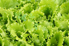 Salad leaves in a kitchen garden. Salad leaves on a bed in a kitchen garden Stock Photography