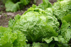 Salad - lettuce Royalty Free Stock Images