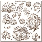 Salad lettuce and cabbages vegetables vector sketch icons Stock Photos