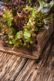 Salad Lollo Rossa Royalty Free Stock Photo