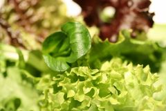 Salad Mix. Macro of Mixed salad - shallow depth of field Royalty Free Stock Image