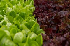 Free Salad Mix Inside Of A Greenhouse Stock Image - 146577231