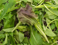 Salad mix with rucola, frisee, radicchio and lamb's lettuce Stock Images