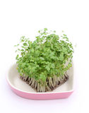 Salad mustard cress Royalty Free Stock Images