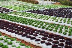 Salad Patch, vegetable. Salad Patch vegetable  Lettuce Radicchio Royalty Free Stock Photos