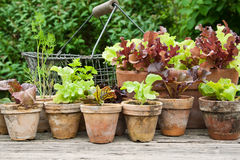 Salad. Plant pots with salad and herb stock photography