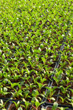 Salad plantation with rows of seedlings Royalty Free Stock Image