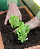 Salad planting in to the pot Royalty Free Stock Images